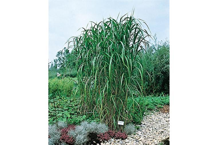 Elefantgräs Elefantmiskantus 5l - Grön - Heminredning - Dekoration - Konstgjorda växter