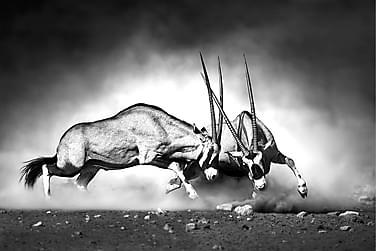 Canvas  Antelopes
