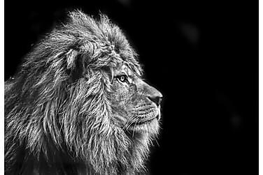 Canvas  Lion
