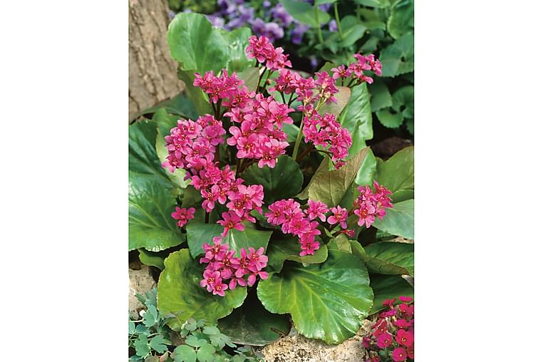 Hjärtbergenia 15-pack - Röd/Violett - Trädgård - Odling & trädgårdsskötsel
